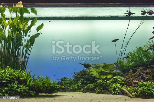 istock Beautiful Tropical Freshwater Aquarium with Green Plants and Fishes 847738576