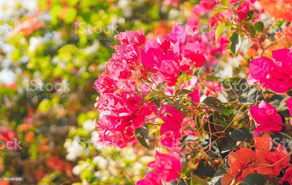 Beautiful tropical garden. The flowers of bougainvillea photo libre de droits