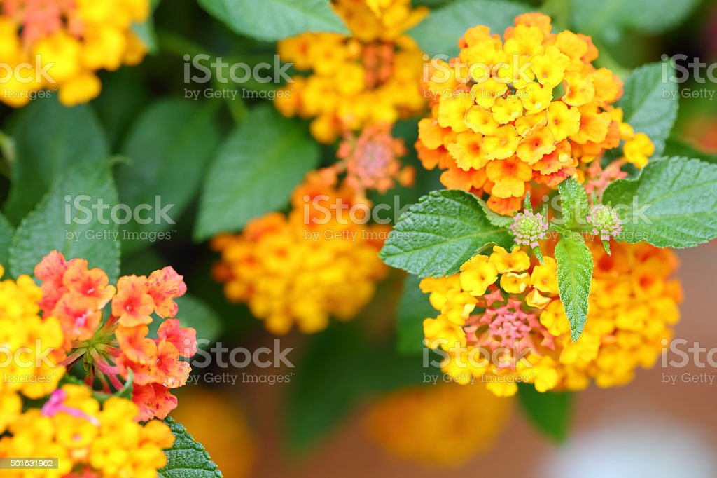 Beautiful tropical Lantana flowers. stock photo