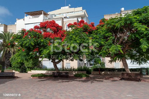 Beautiful tropical tree with red flowers Royal Poinciana or Delonix Regia or Flame tree in Netanya, Israel