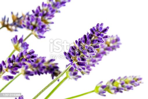 beautiful true lavender isolated on white background