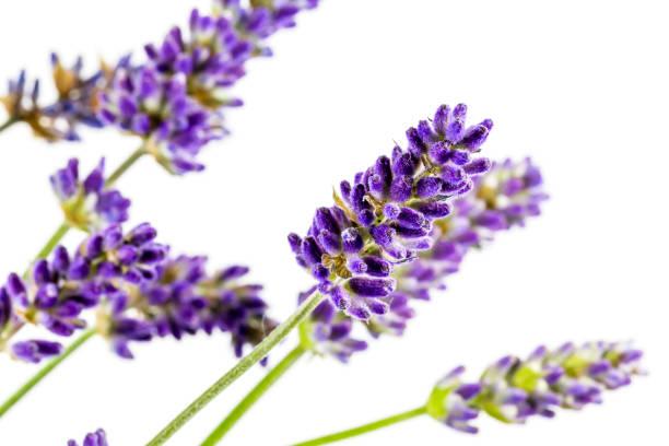 schöne echte Lavendel isoliert auf weißem Hintergrund – Foto