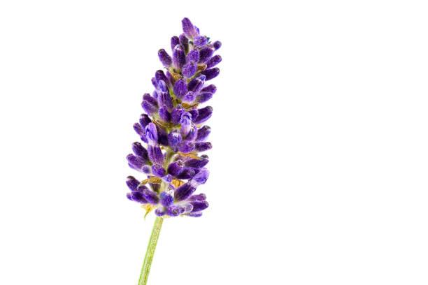 schöne echte Lavendel isoliert auf weißem Hintergrund mit Kopierraum – Foto
