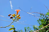 A close-up shot of beautiful orange flowers on trumpet vine against the blue sky.