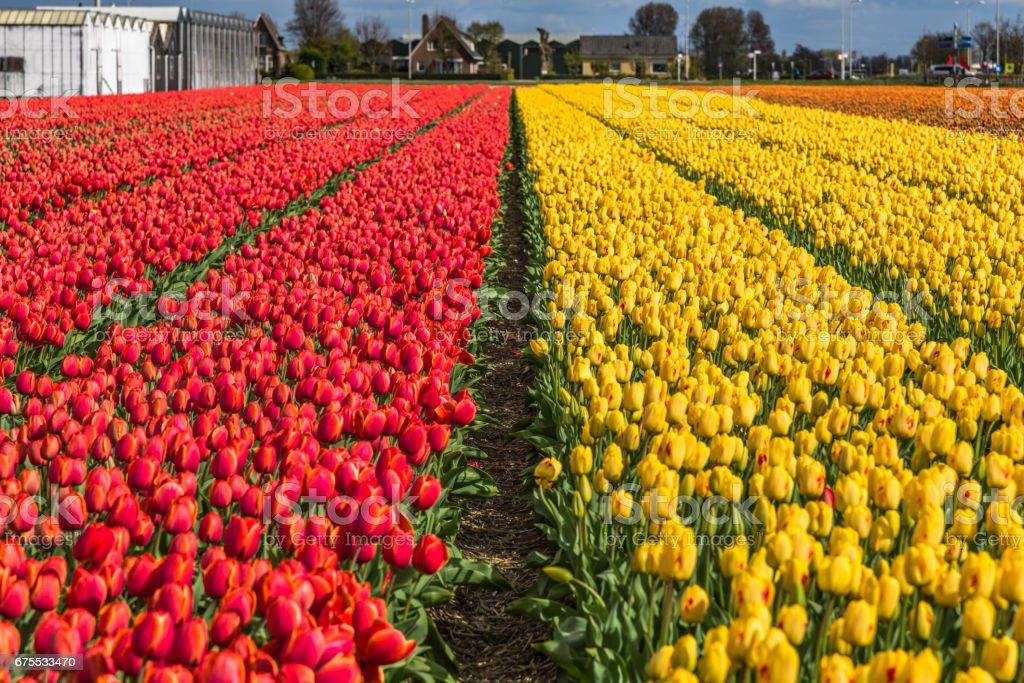 Champs de tulipes magnifiques à Lisse aux Pays-Bas. photo libre de droits