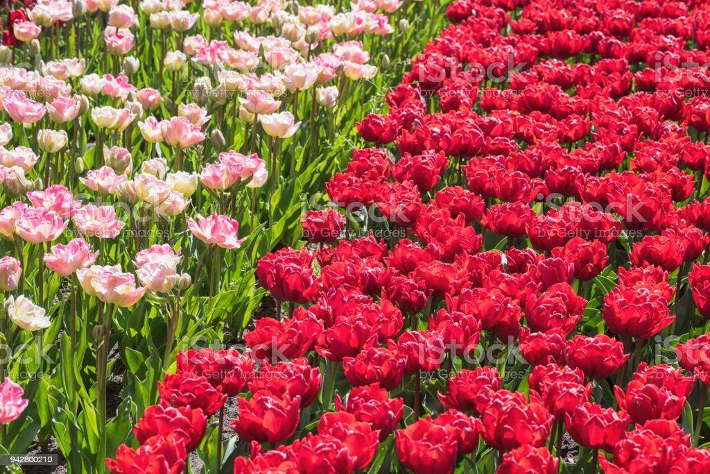 Photo Libre De Droit De Fleurs De Belles Tulipes Au Printemps Jardin