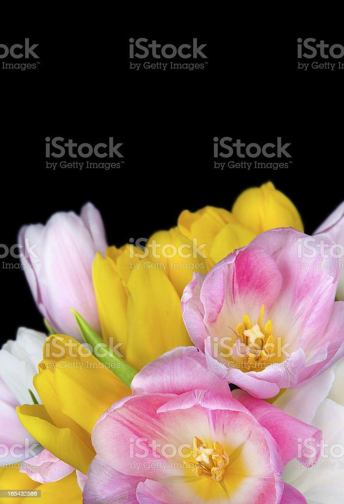 Beautiful tulip flowers isolated on black background royalty-free stock photo