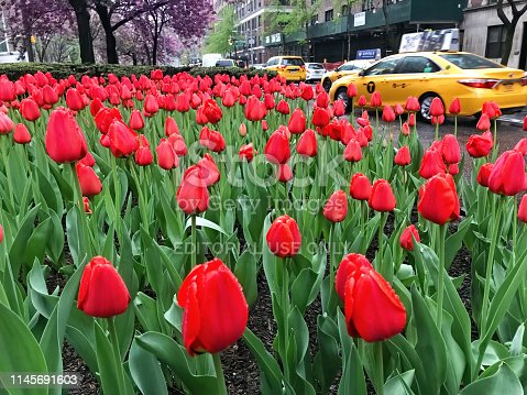 New York City, NY, USA - April 22 2019: Tulips in Park Avenue in New York City during April.
