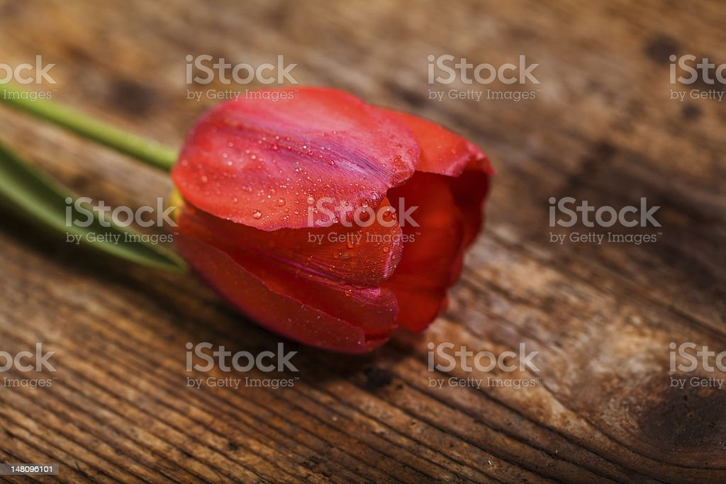 Beautiful tulip royalty-free stock photo