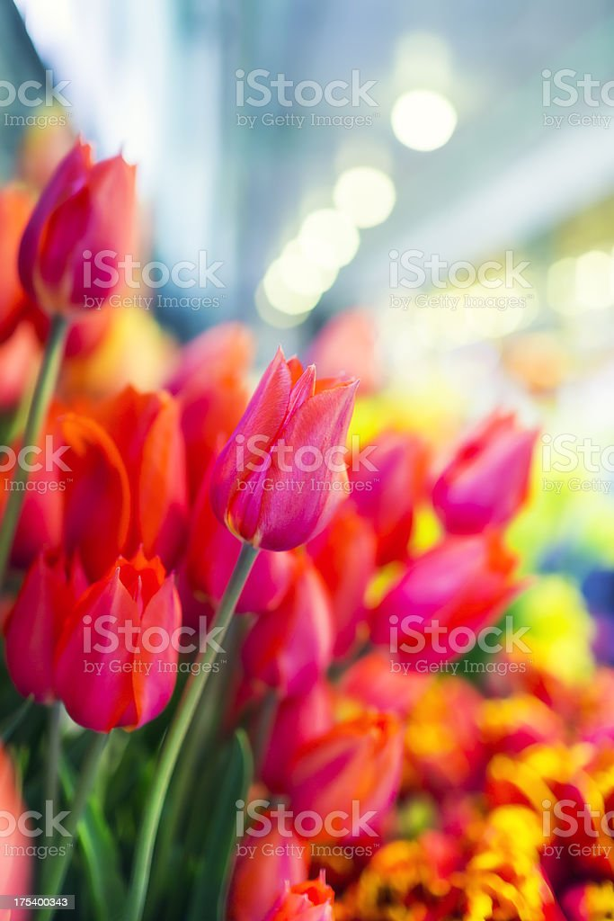 Beautiful tulips bunch royalty-free stock photo