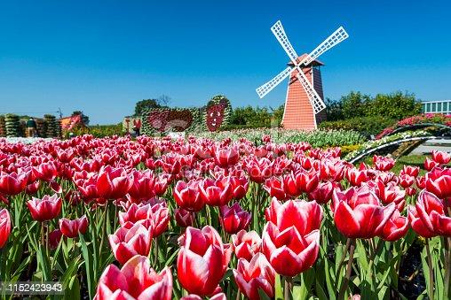 Beautiful tulips flower on blue sky background