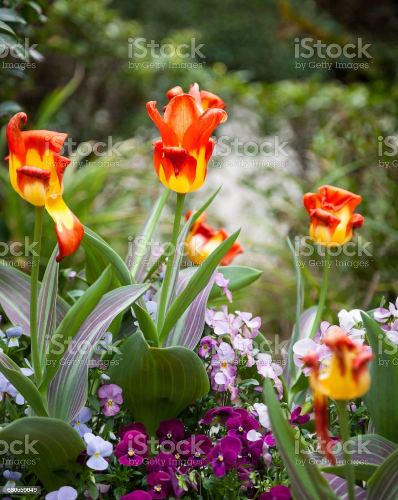 Beautiful Tulips in Garden. foto stock royalty-free