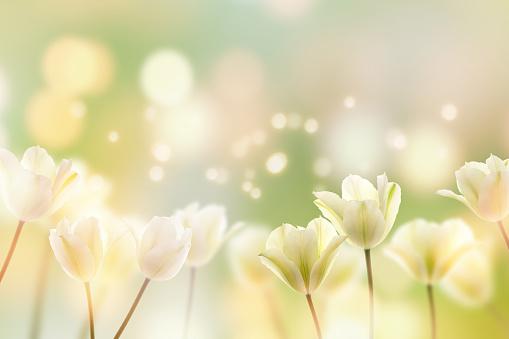 beautiful tulips in sunshine
