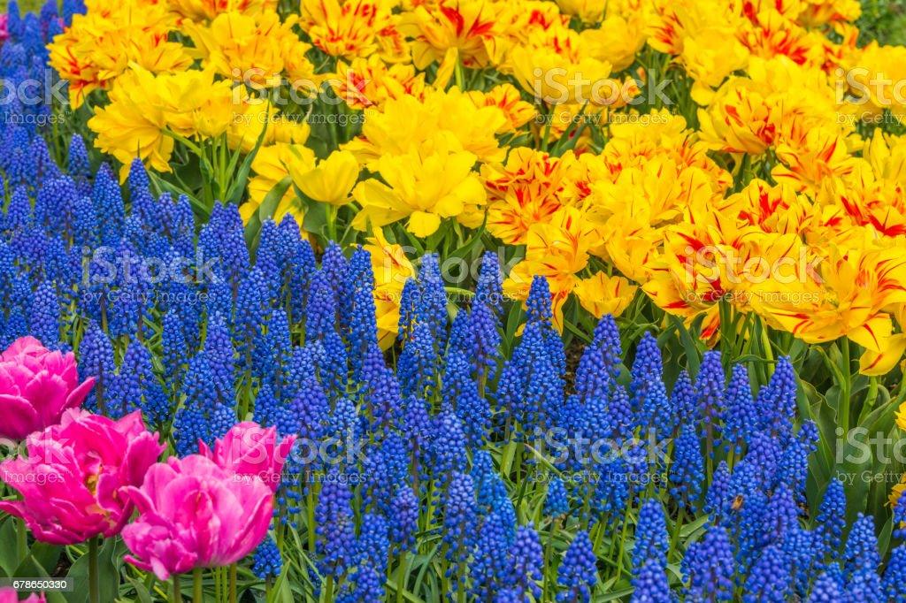 Photo libre de droit de Belles Tulipes Au Printemps Une Variété De ...