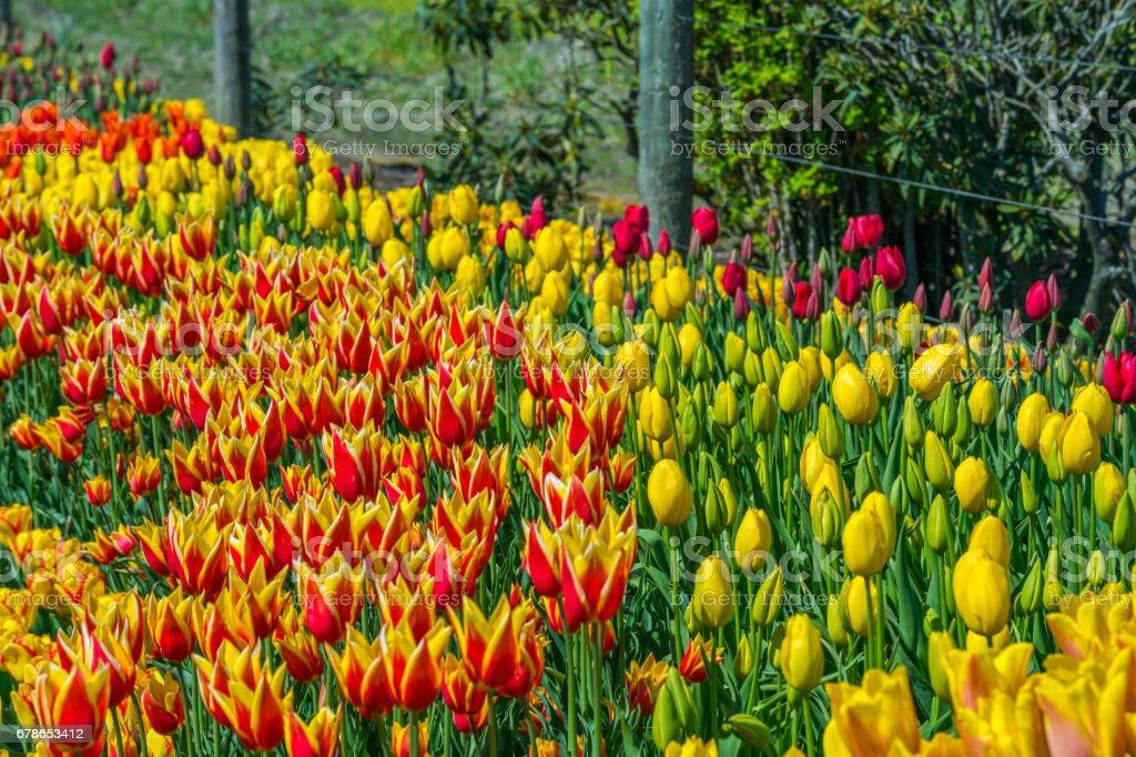 Belles Tulipes Au Printemps Une Variété De Fleurs De Printemps Qui ...