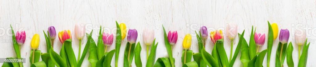Beautiful tulips on a white background. Spring Concept. Long. stock photo