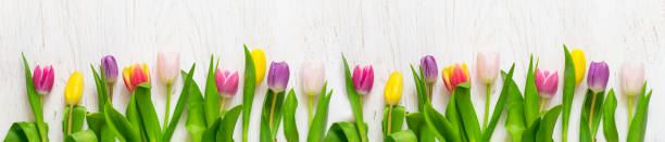Beautiful tulips on a white background. Spring Concept. Long. - foto stock