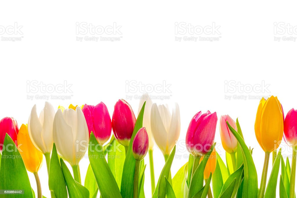 Beautiful tulips. stock photo
