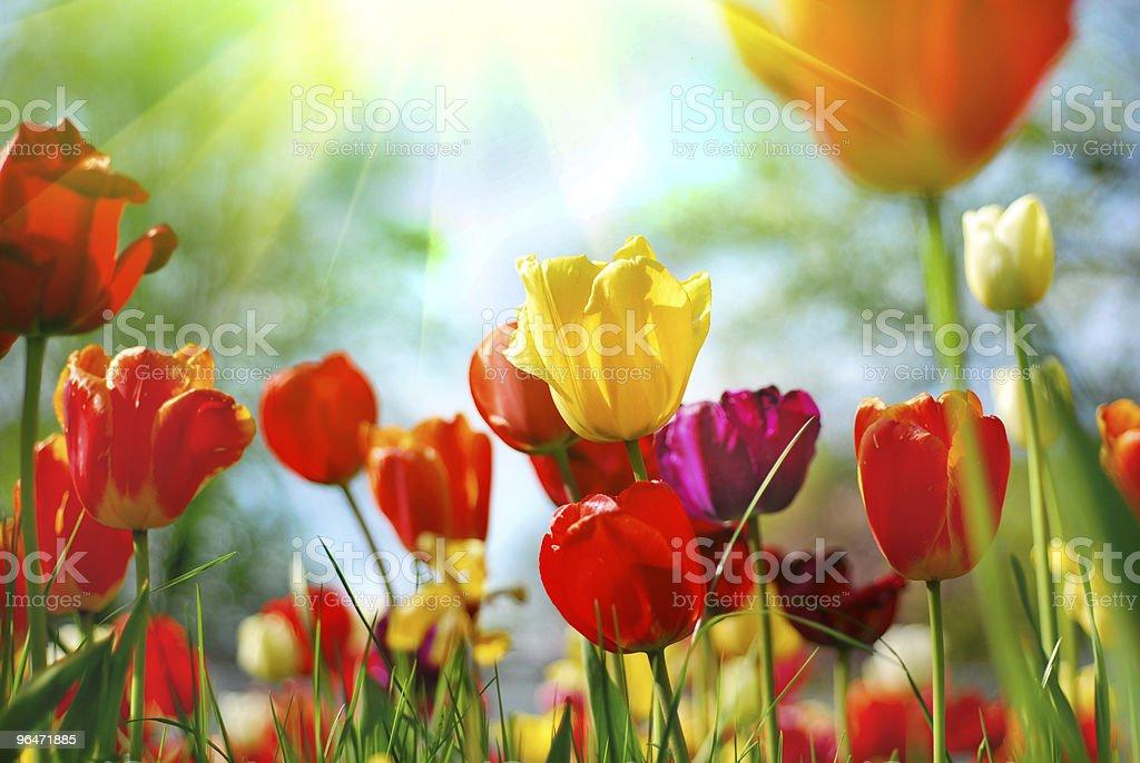 Beautiful tulips royalty-free stock photo