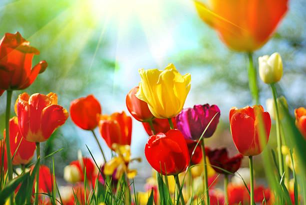 piękne tulipany - tulipany zdjęcia i obrazy z banku zdjęć