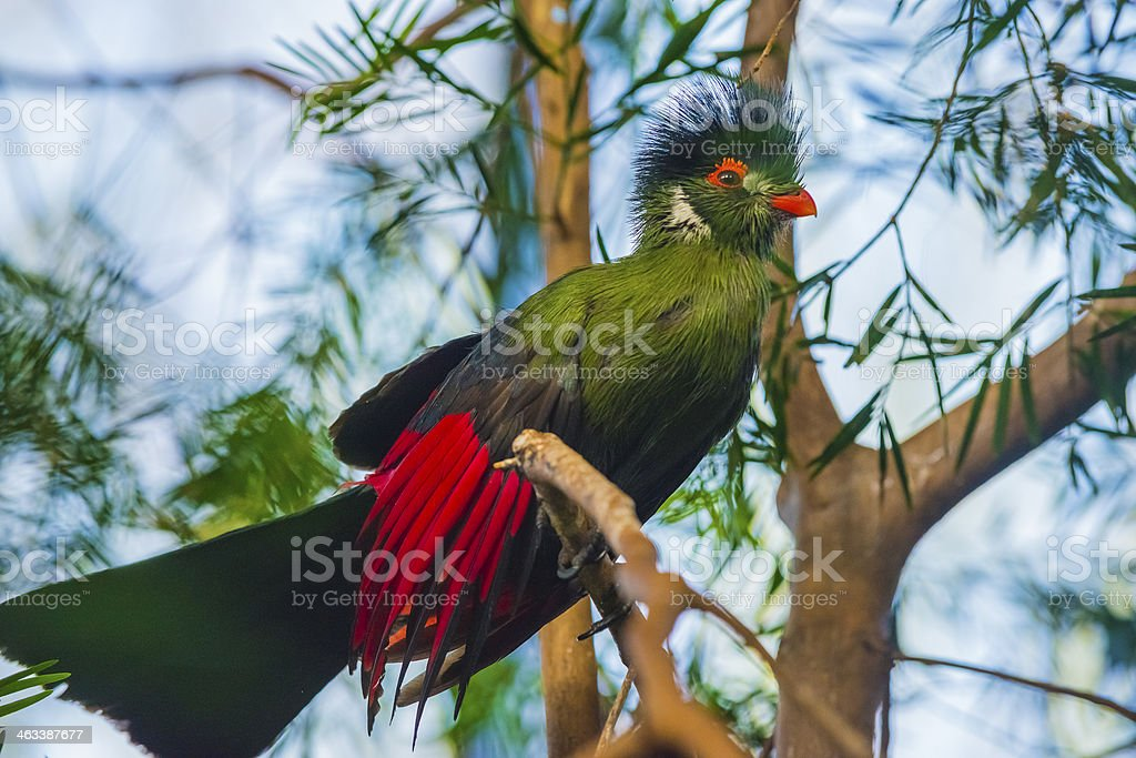 Beautiful Turaco Bird stock photo