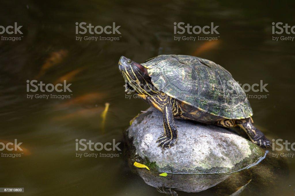 Beautiful turtle on the stone stock photo
