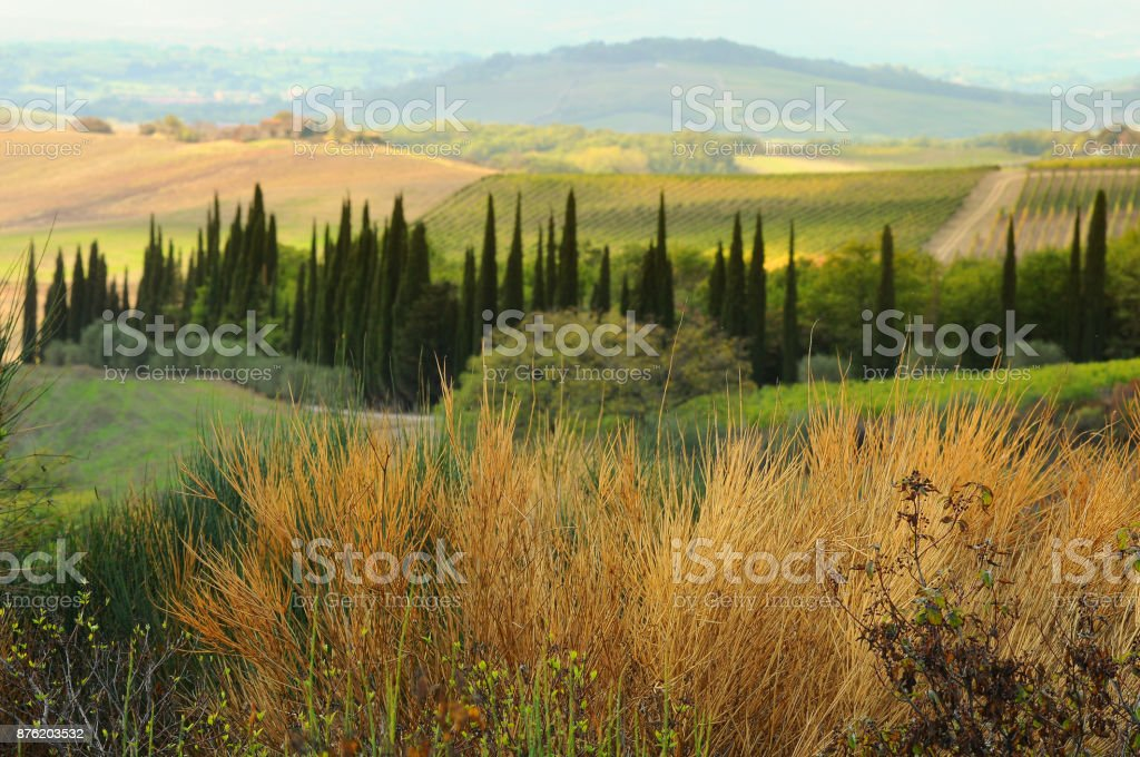 Beautiful Tuscan landscape with Olive Trees near Castellina in Chianti, Siena. Italy. stock photo