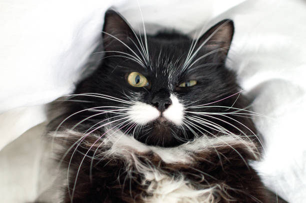 Beautiful tuxedo cat with luxurious mustache looks directly at the picture id987912992?b=1&k=6&m=987912992&s=612x612&w=0&h=0hbtyorlakgr4dfrccxo74zebnye4r07brf4t6cldnw=
