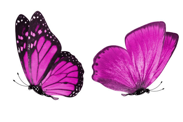 Beautiful two pink butterflies isolated on white background picture id1155091308?b=1&k=6&m=1155091308&s=612x612&w=0&h=ikx4bz6qbyr19ptzlwyhdggh617udljsexz16ivzicq=