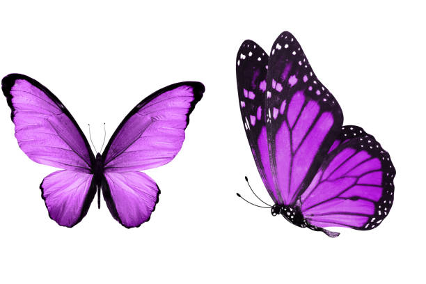 Beautiful two purple butterflies isolated on white background picture id1158514015?b=1&k=6&m=1158514015&s=612x612&w=0&h=lldbwzoghj4w9dj5kojl7ygpj zqffbzhs2fmtpf61g=