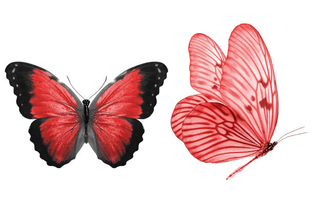 Beautiful two red butterflies isolated on white background picture id1158716447?b=1&k=6&m=1158716447&s=612x612&w=0&h=wiw xbnyrfdggiqje ai6uefw pze1xramb1psslvwy=