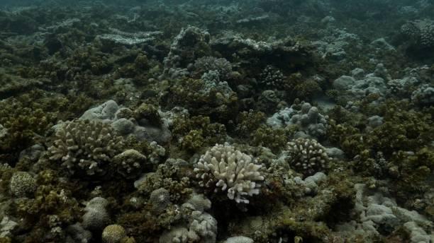 Beautiful undersea hard coral reef at Ogasawara Islands, Japan stock photo