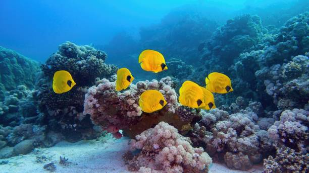 beautiful underwater scenery - coral reef and shoal of yellow masked butterfly fish, blue-cheeked butterflyfish - great barrier reef stock pictures, royalty-free photos & images