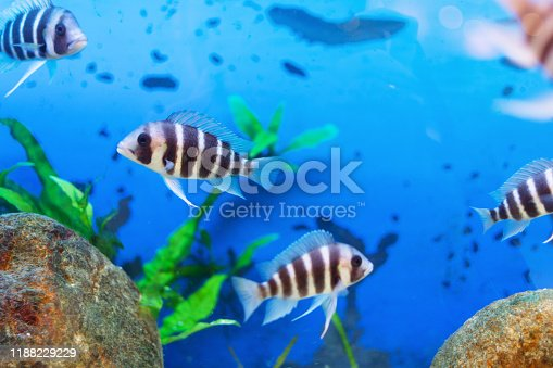 istock Beautiful underwater world with tropical fish. Fish swimming in clear blue water with air bubbles. 1188229229