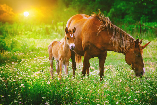 Beautiful unicorns Mare and Foal in the magical forest landscape at sunset, realistic picture. Unicorn mother and unicorn foal run together in a colorful blooming field with spring or summer flowers. Beautiful unicorns Mare and Foal in the magical forest landscape at sunset, realistic picture. Unicorn mother and unicorn foal run together in a colorful blooming field with spring or summer flowers. foal young animal stock pictures, royalty-free photos & images