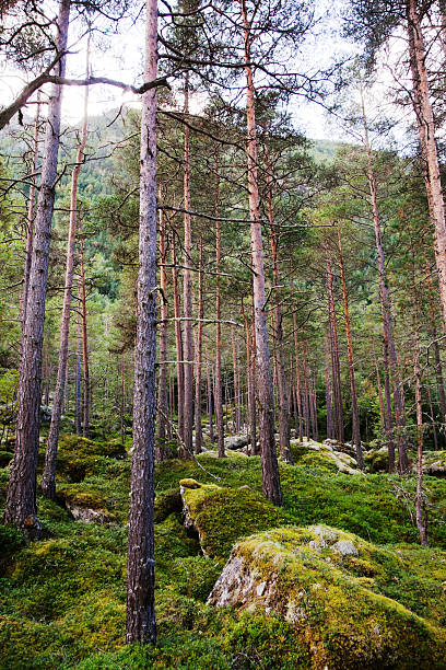 Beautiful untouched virgin forest with pine trees and lichen. stock photo