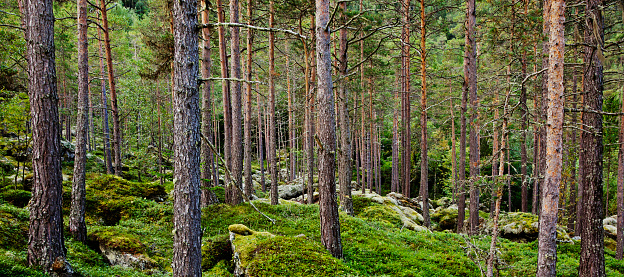 istock Beautiful untouched virgin forest with pine trees and lichen. 483510831
