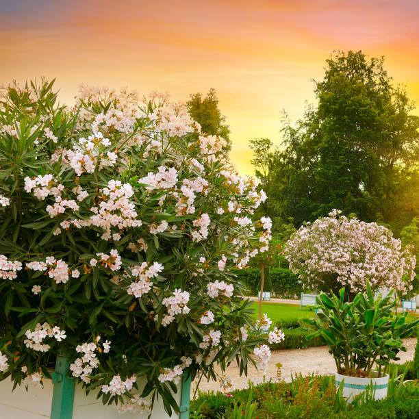 Schöner Stadtgarten mit luxuriösen Oleandern. Im Sommer, bei Sonnenuntergang. – Foto