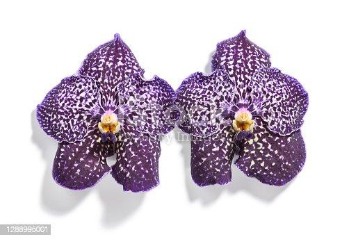 Beautiful vanda orchid flowers isolated on white background