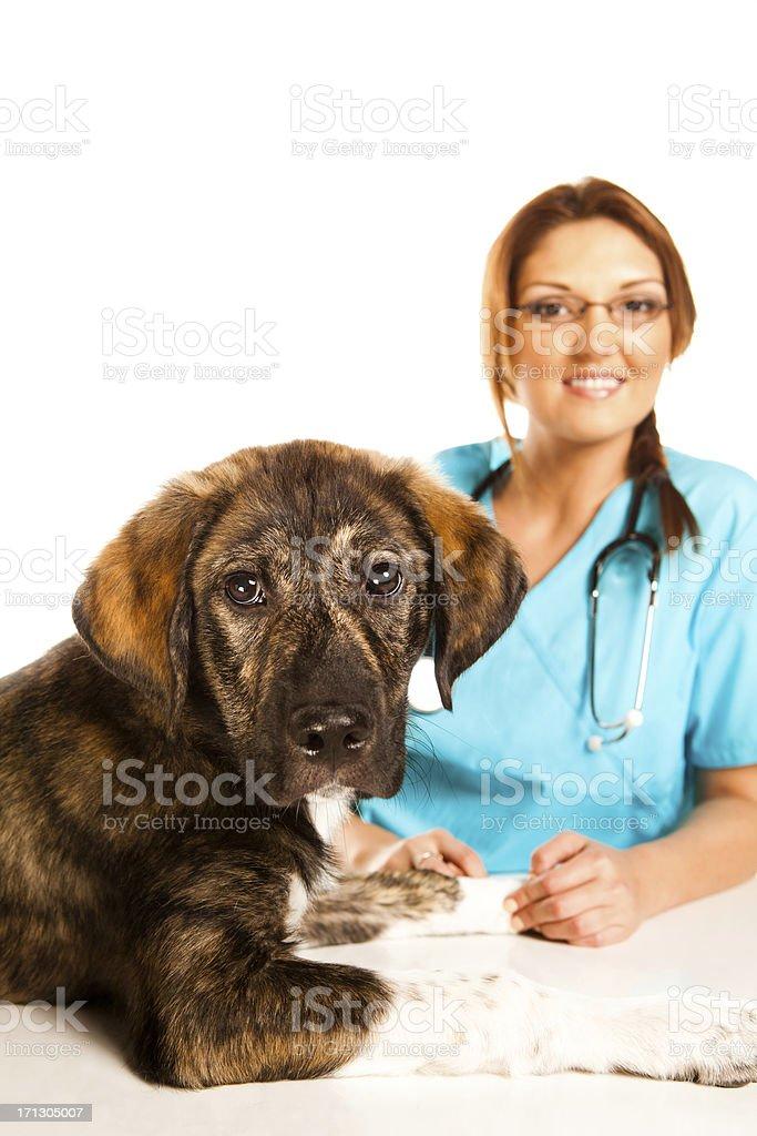 Beautiful Veterinary Technician royalty-free stock photo