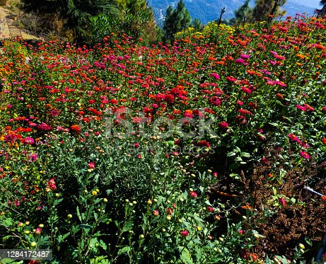 Colourful zinnia grow in the valley.