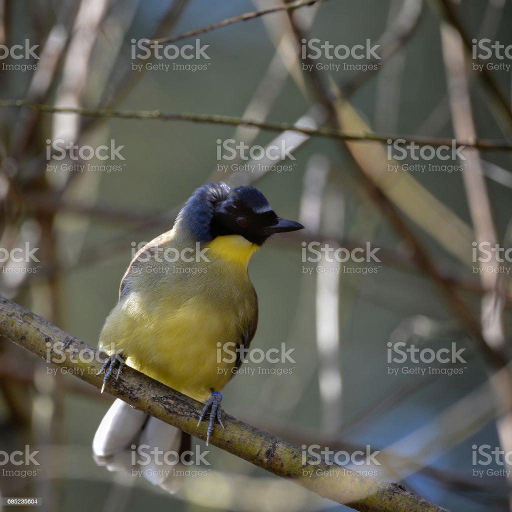 Beautiful vibrant blue and yellow male Weaver bird Ploceidae royalty-free stock photo