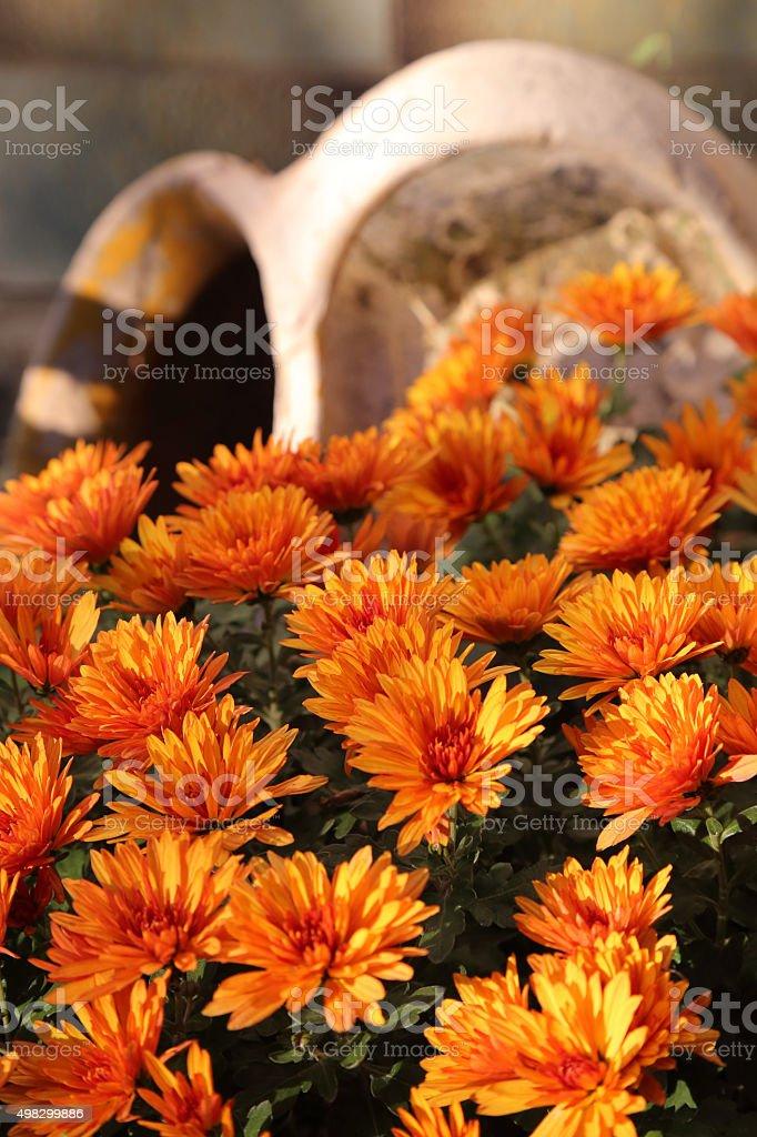 Schönen leuchtenden Blumen orange-aster – Foto