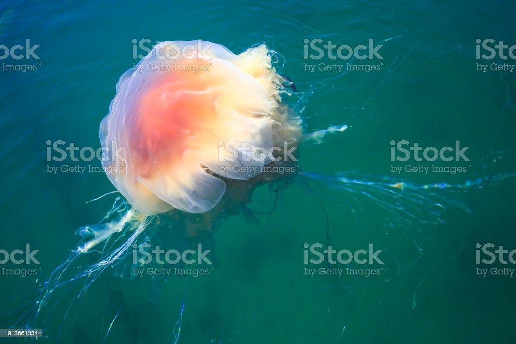 Schöne Lebendige Bild Einer Qualle Im Atlantischen Ozean Nordmeer ...