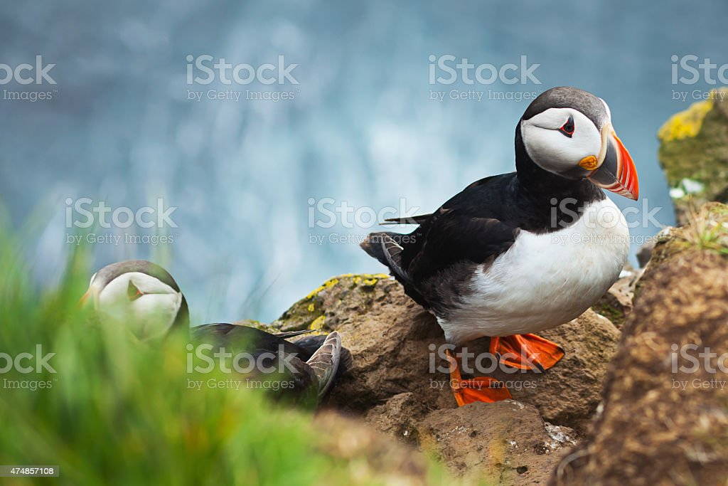 Beautiful vibrant picture of Atlantic Puffin on Latrabjarg cliffs stock photo