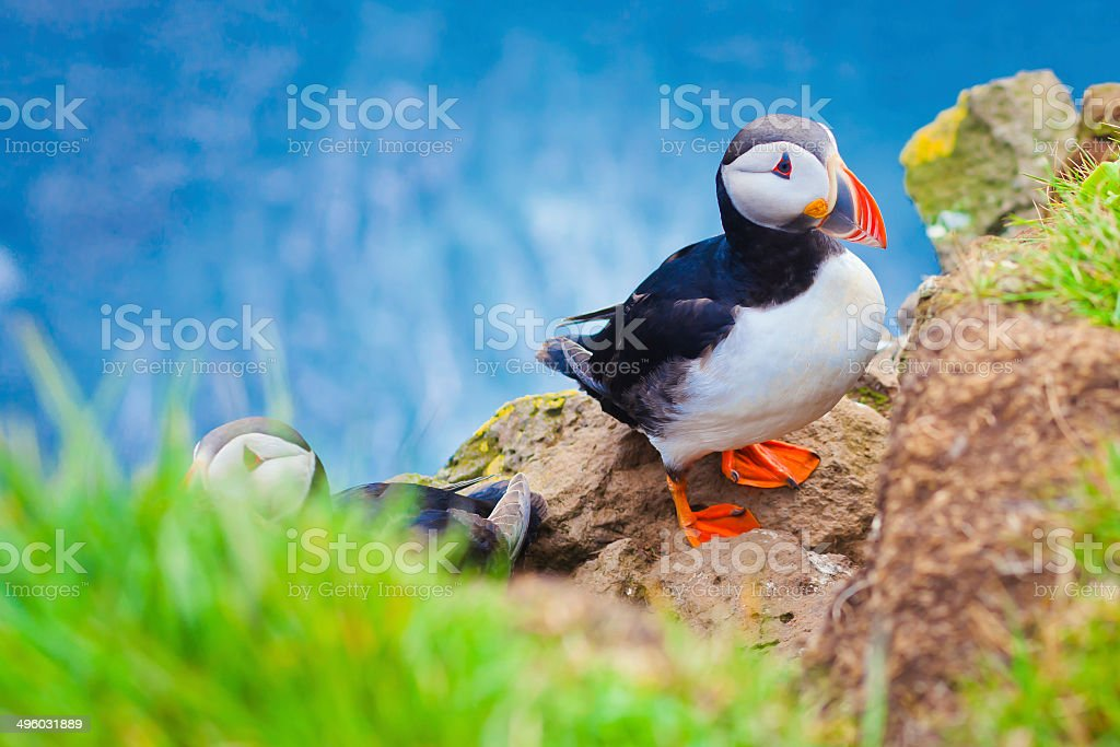Beautiful vibrant picture of Atlantic Puffins on Latrabjarg cliffs stock photo