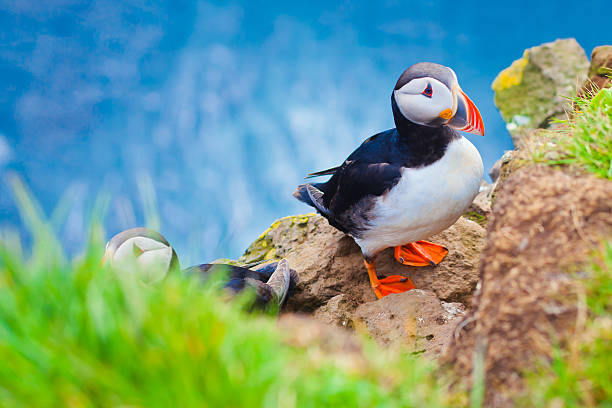 Beautiful vibrant picture of Atlantic Puffins on Latrabjarg cliffs Beautiful vibrant picture of Atlantic Puffins on Latrabjarg cliffs - western-most part of Europe and Europe's largest bird cliff, Iceland auk stock pictures, royalty-free photos & images