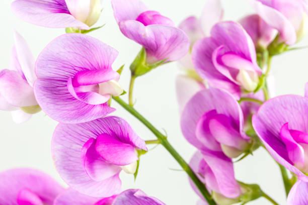 schöne vicia Blume isoliert auf weißem Hintergrund – Foto