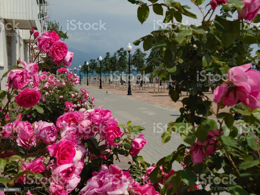 Beautiful view, framed diagonally with pink roses. The alley leading to the quay. stock photo
