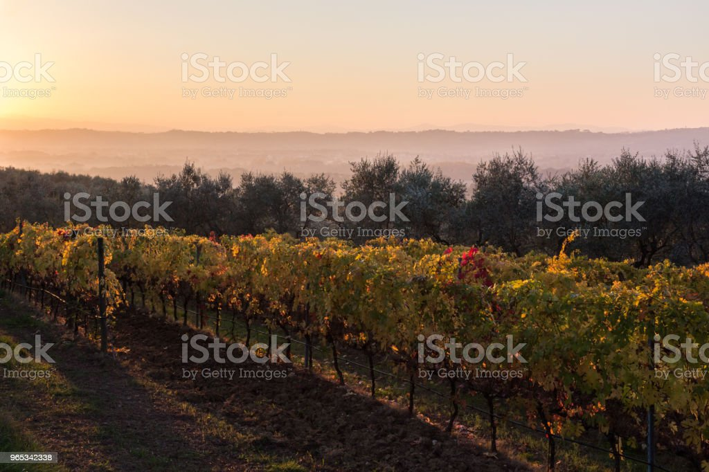 Beautiful view of a vineyard at sunset in autumn, with red, gree zbiór zdjęć royalty-free